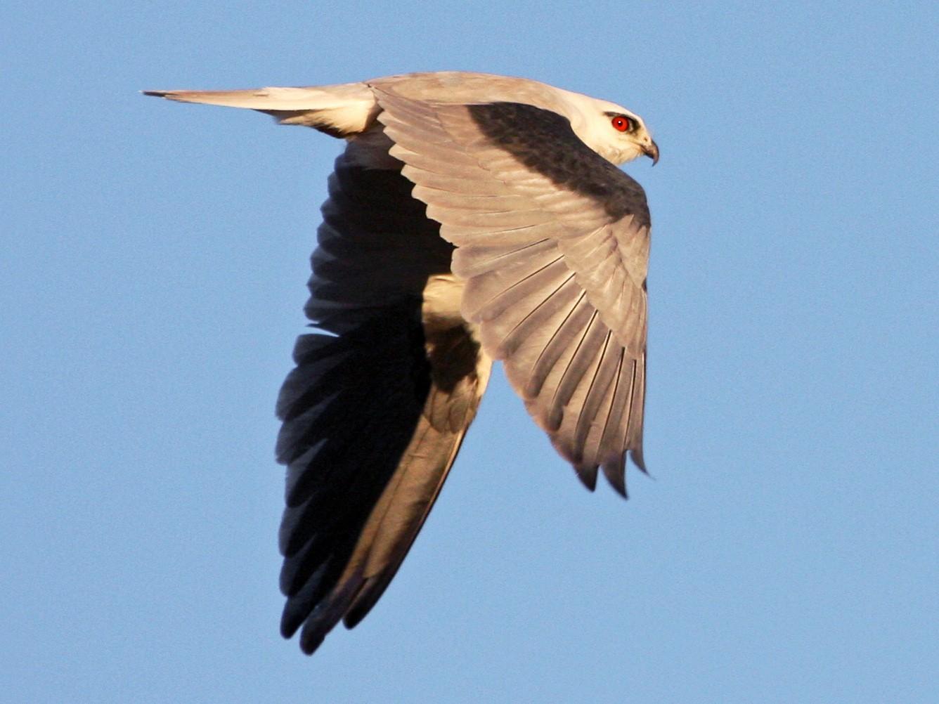 Black-shouldered Kite - Mat Gilfedder