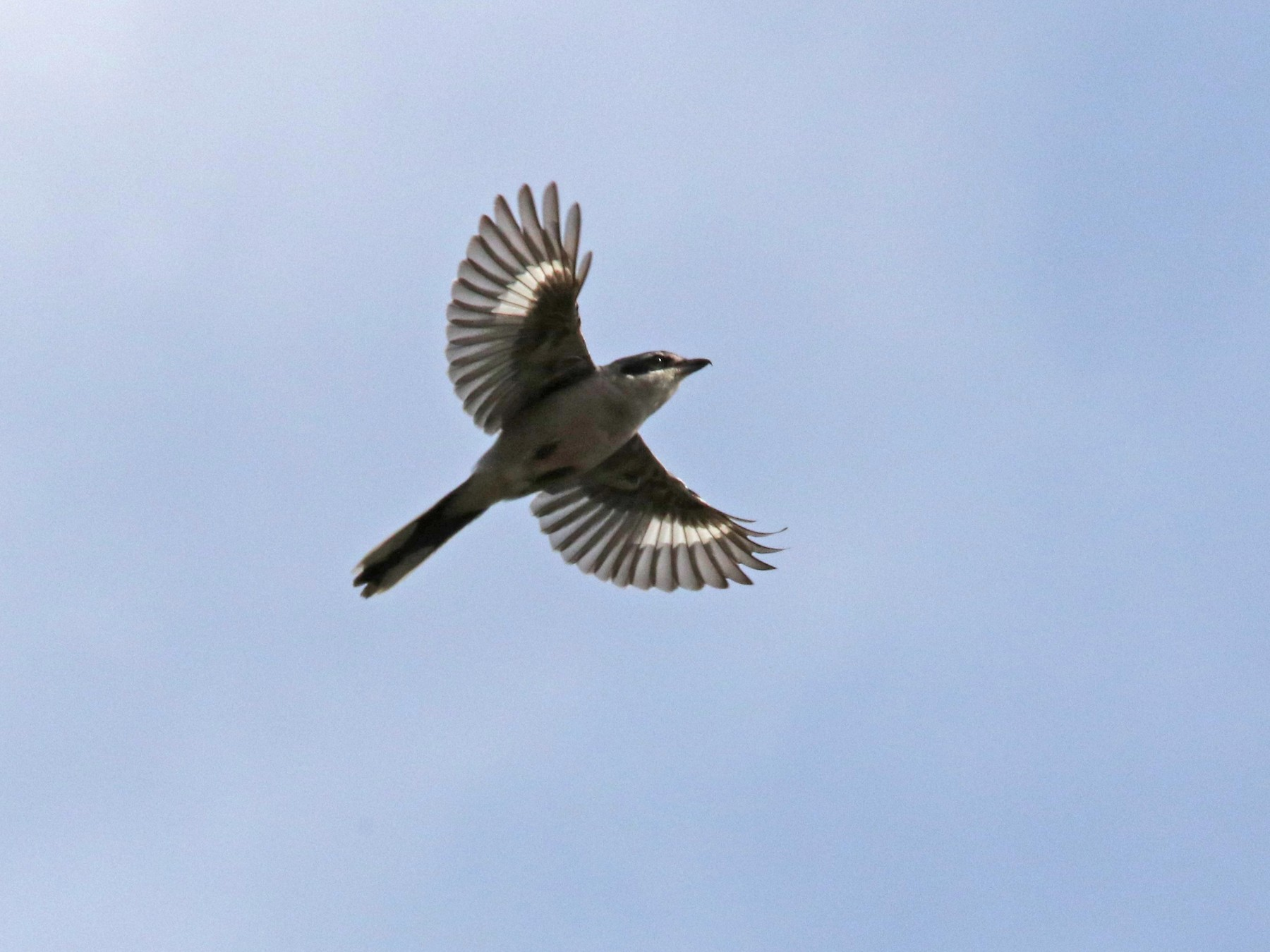 Iberian Gray Shrike - JOSE LUIS SOBRINO GONZALEZ