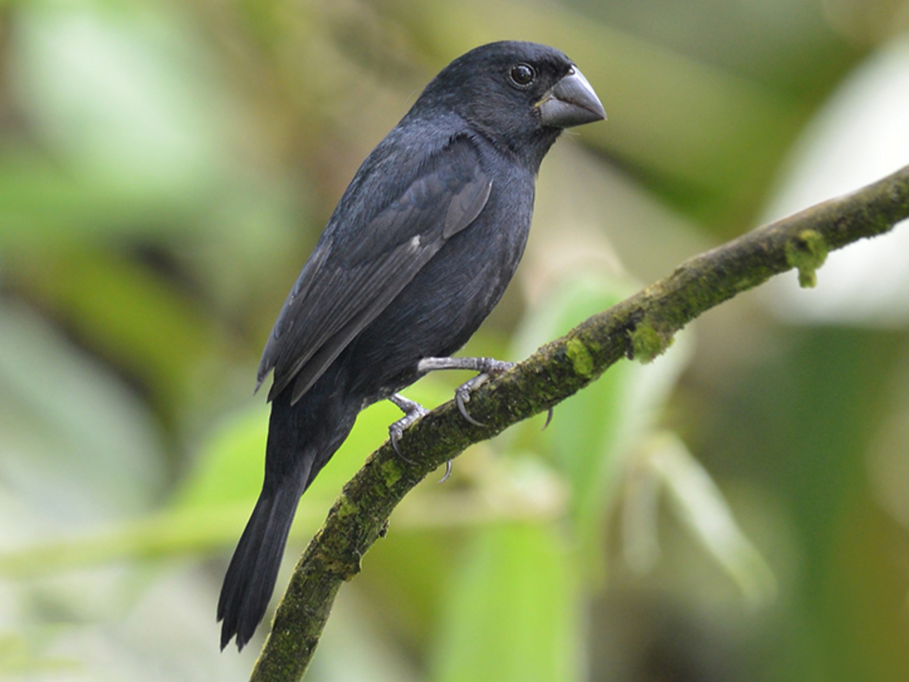 Thick-billed Seed-Finch - Gualberto Becerra