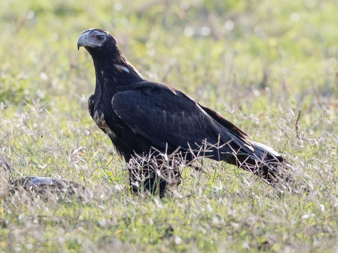 Wedge-tailed Eagle - Ian Davies