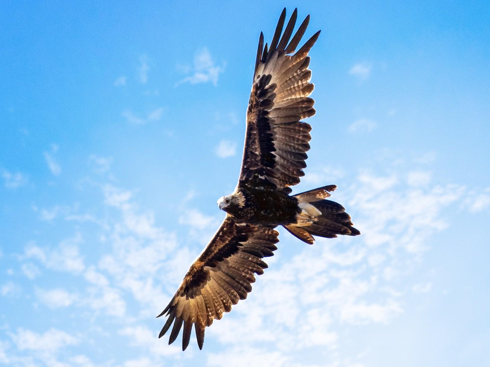 Wedge-tailed Eagle - Luke Shelley