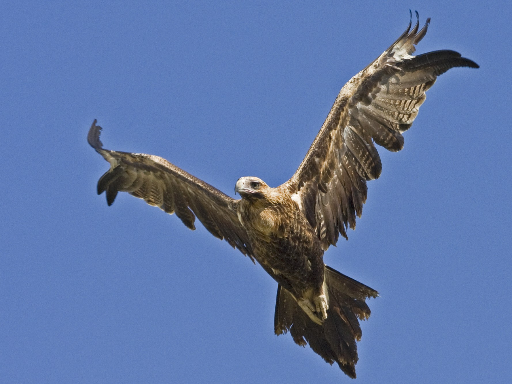Wedge-tailed Eagle - Mat Gilfedder