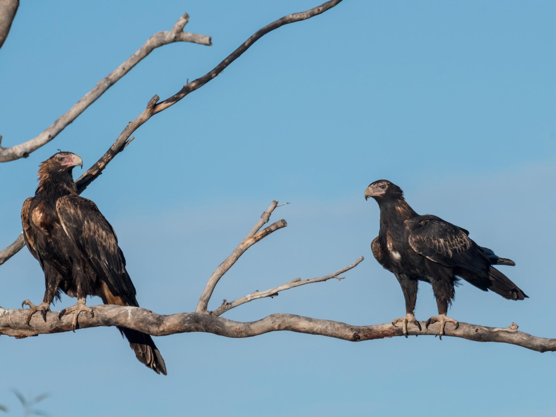 Wedge-tailed Eagle - Raphaël Nussbaumer