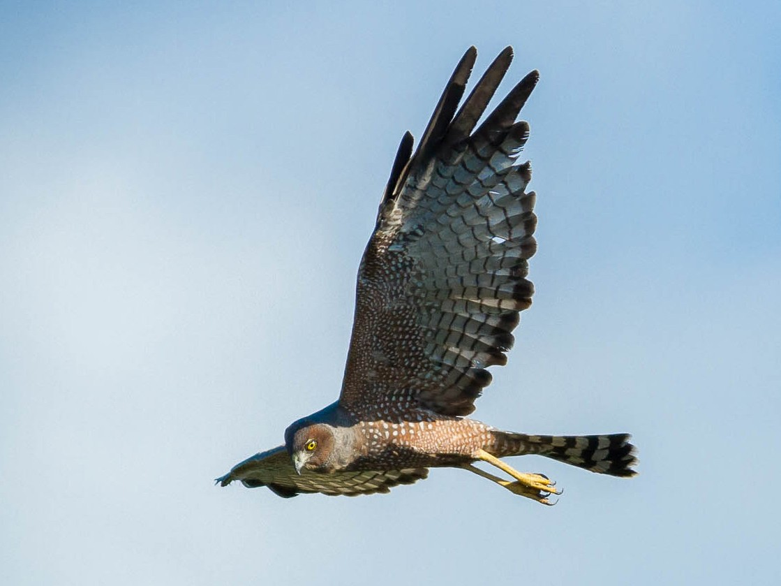 Spotted Harrier - Ged Tranter