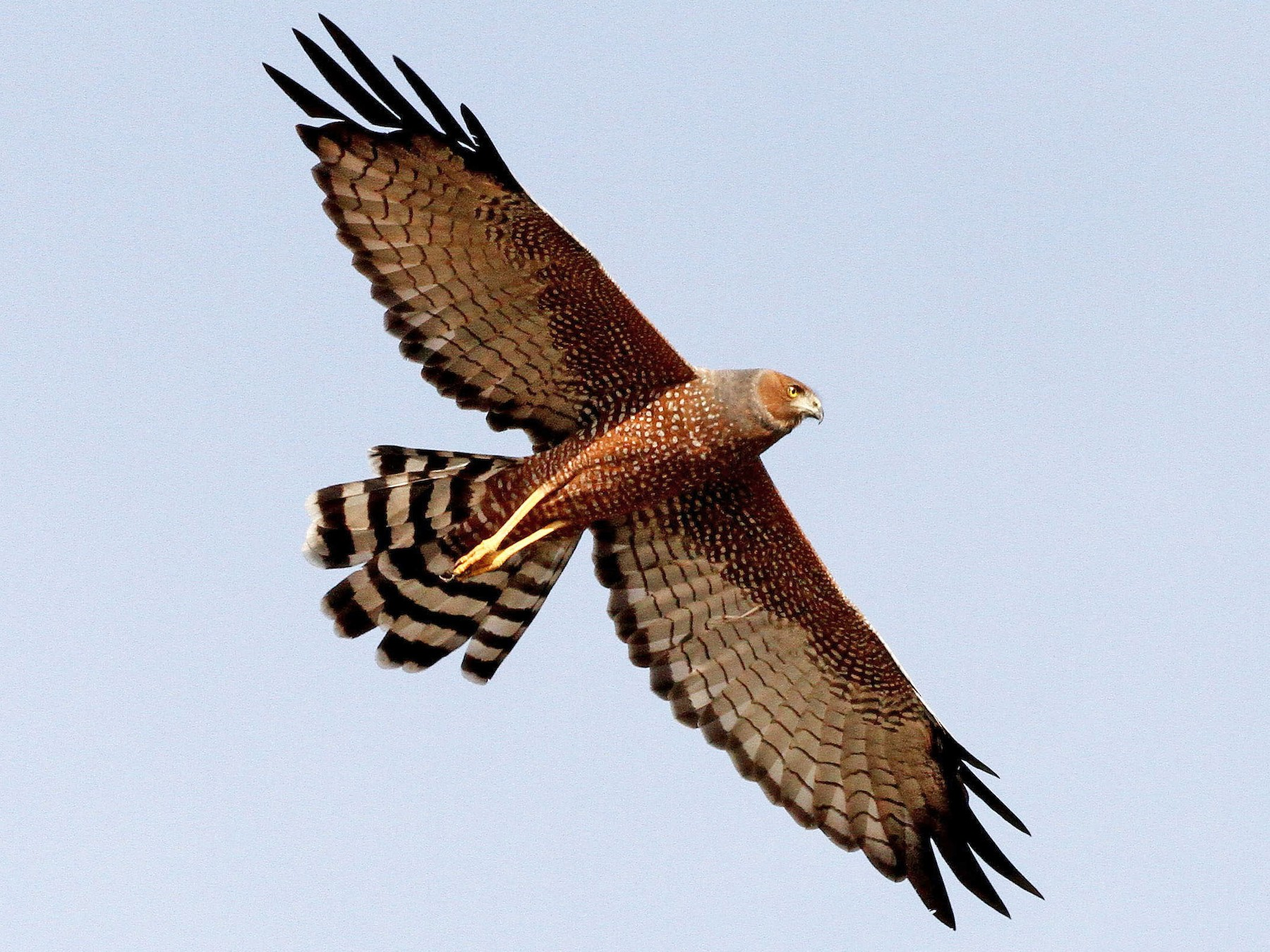 Spotted Harrier - Jack Whiting