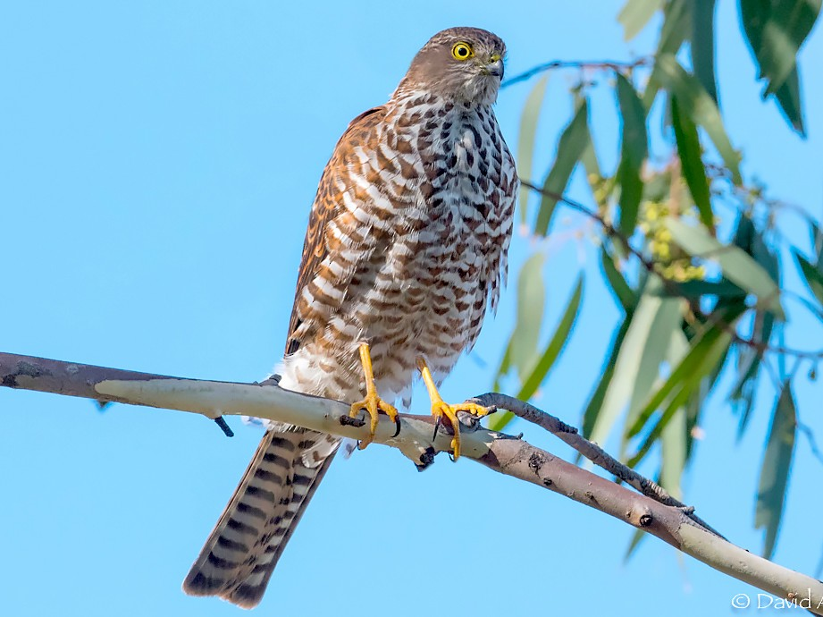 Collared Sparrowhawk - David Adam