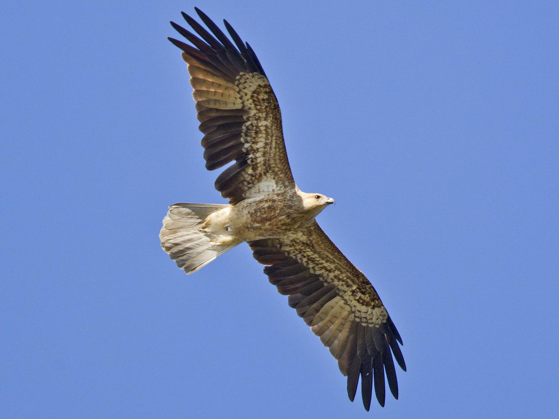 Whistling Kite - Mat Gilfedder