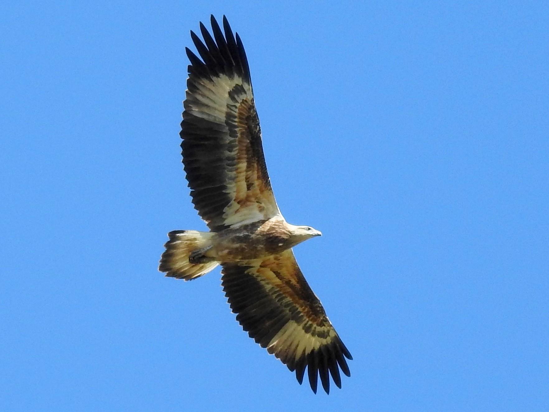 White-bellied Sea-Eagle - Michael Daley