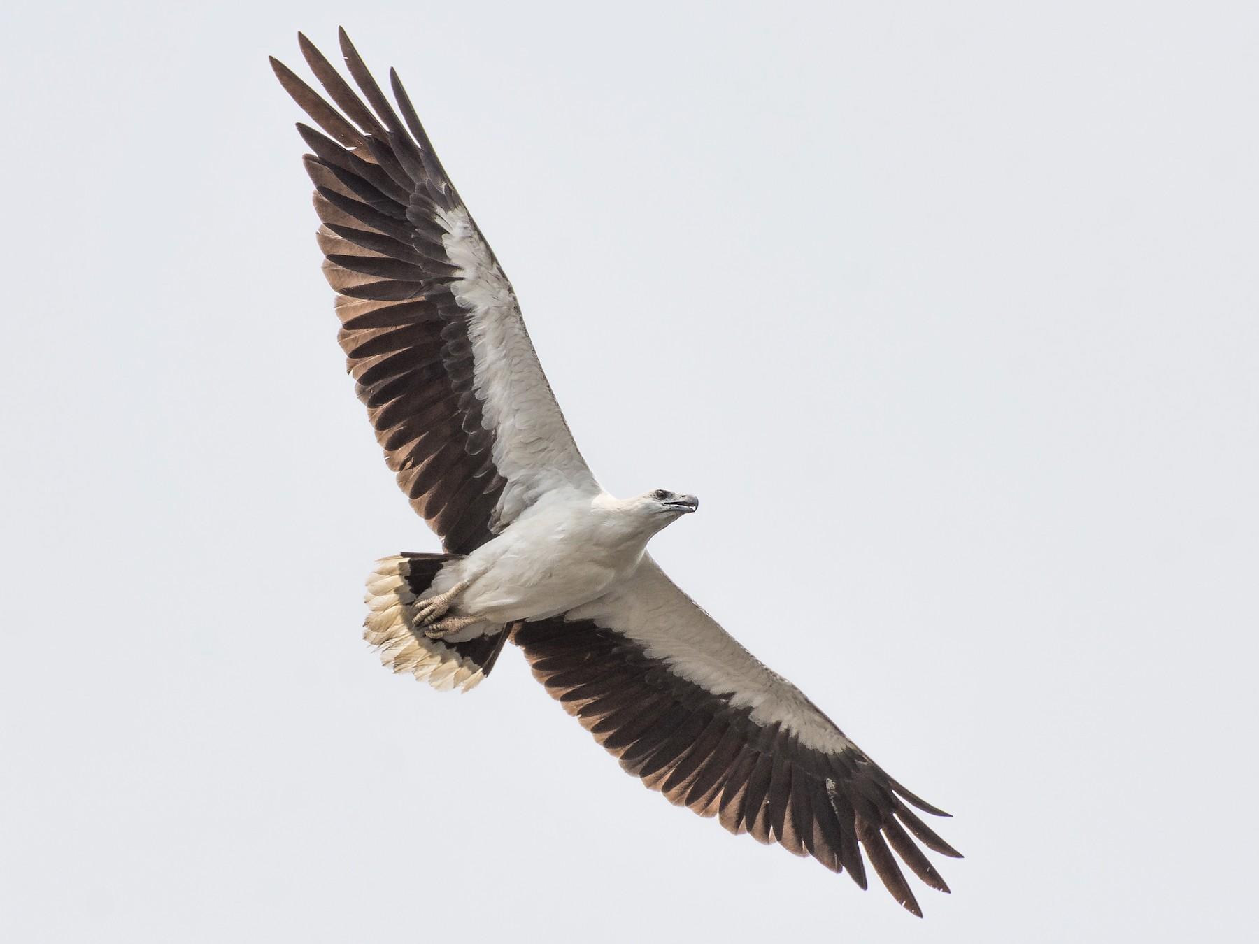 White-bellied Sea-Eagle - Fareed Mohmed
