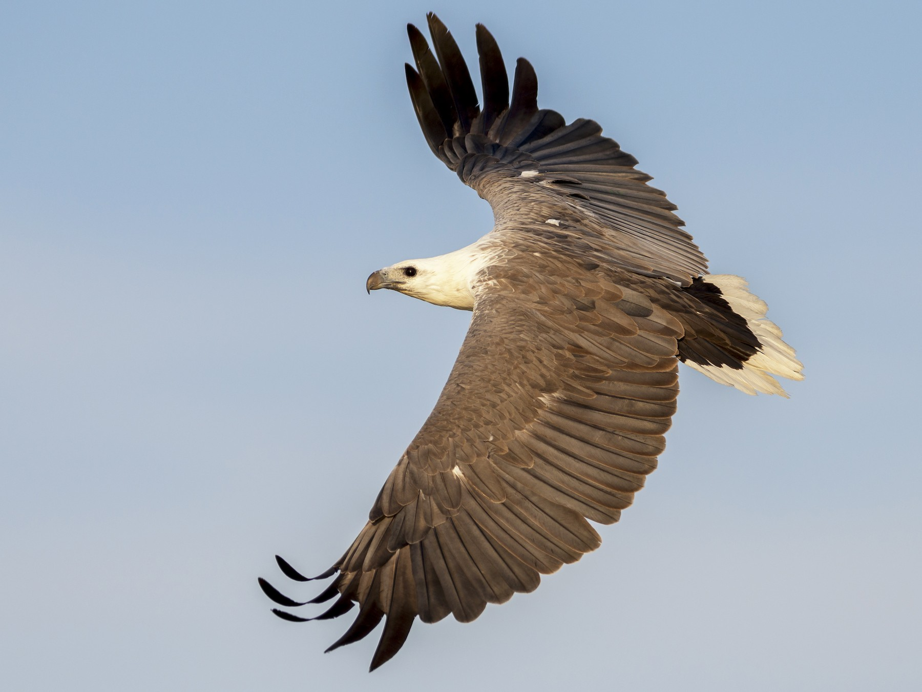 White-bellied Sea-Eagle - Peter Taylor