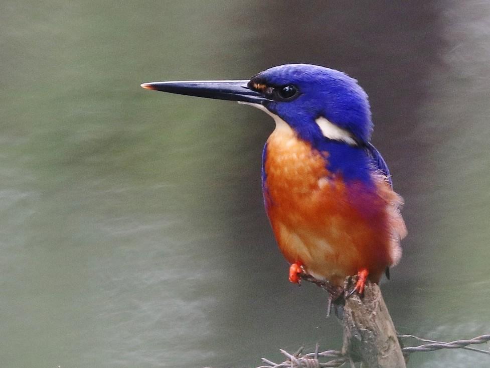 Azure Kingfisher - Rick Franks