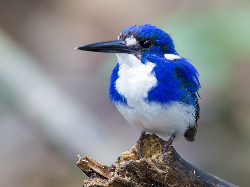 Little Kingfisher - Laurie Ross | Tracks Birding & Photography Tours