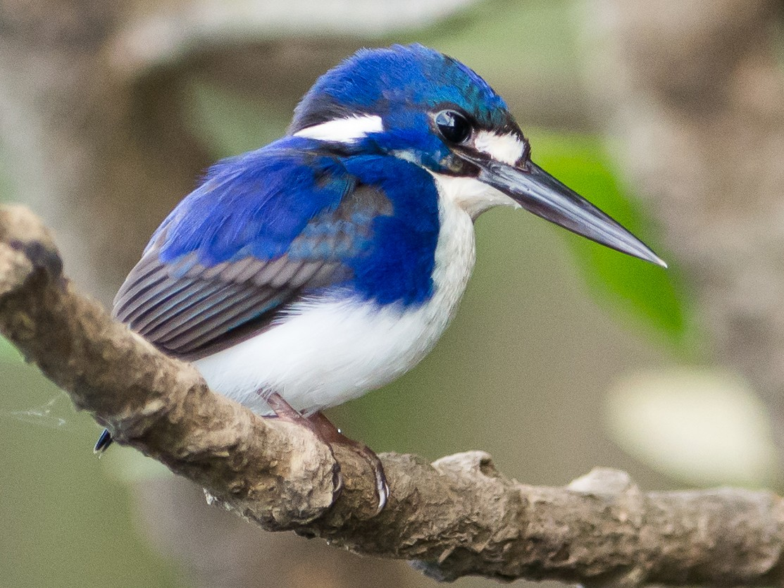 Little Kingfisher - John  Van Doorn