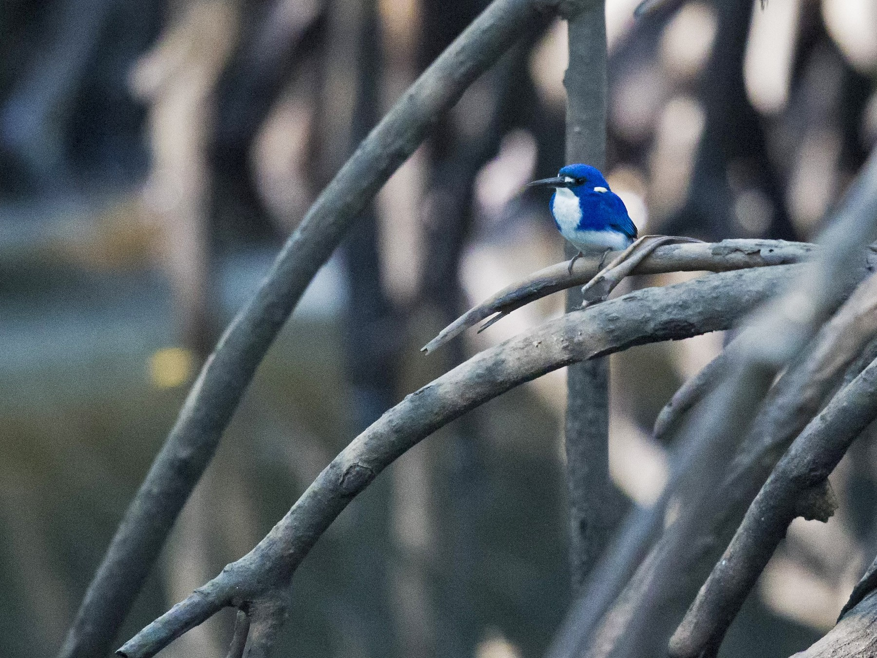 Little Kingfisher - Mat Gilfedder