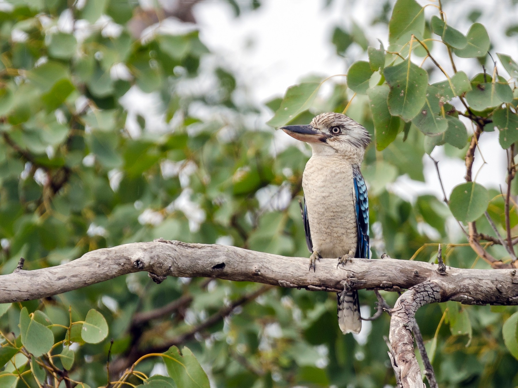 Blue-winged Kookaburra - Peter Latta
