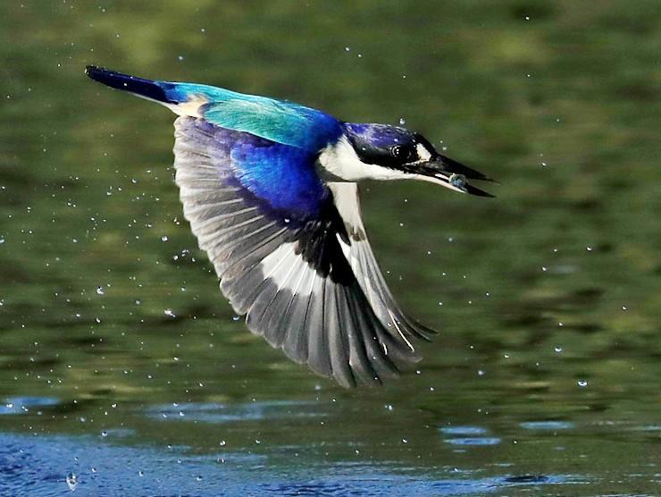Forest Kingfisher - Tony Ashton