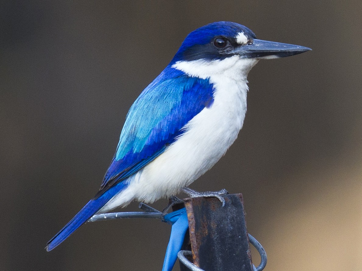 Forest Kingfisher - Mat Gilfedder