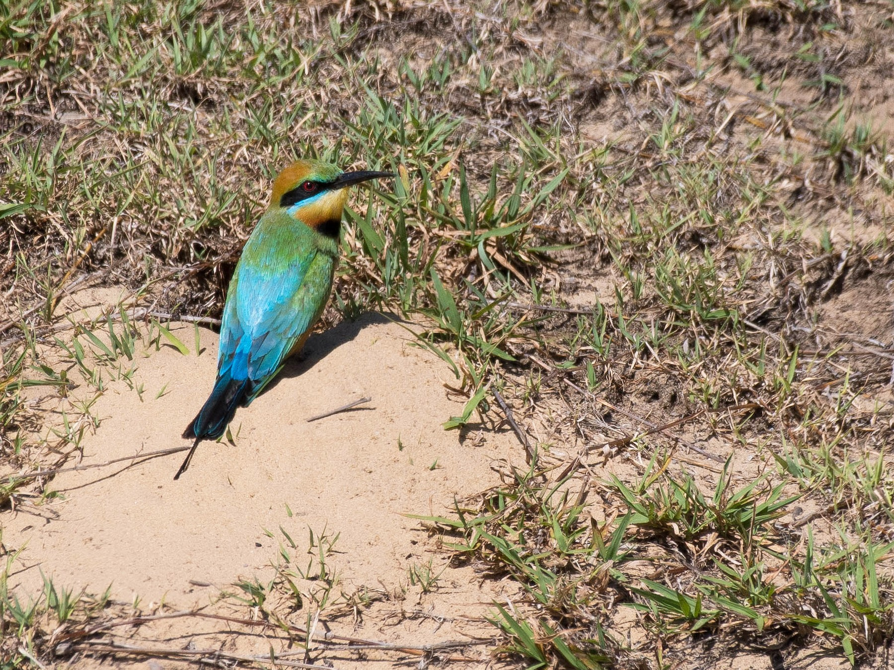 Rainbow Bee-eater - Terence Alexander