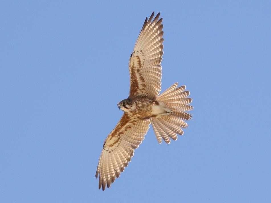 Brown Falcon - Roksana and Terry