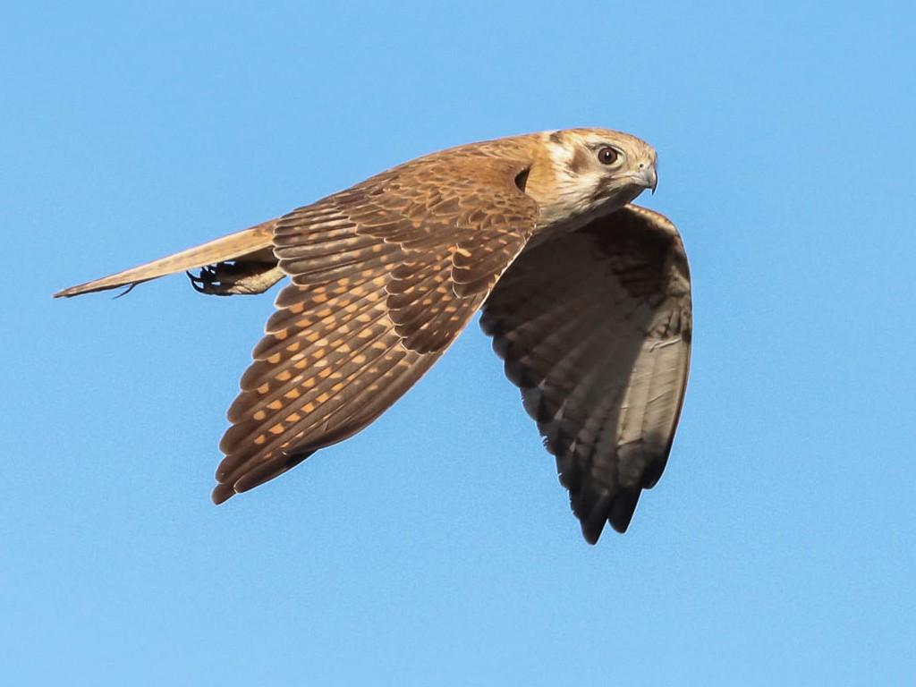 Brown Falcon - Ged Tranter