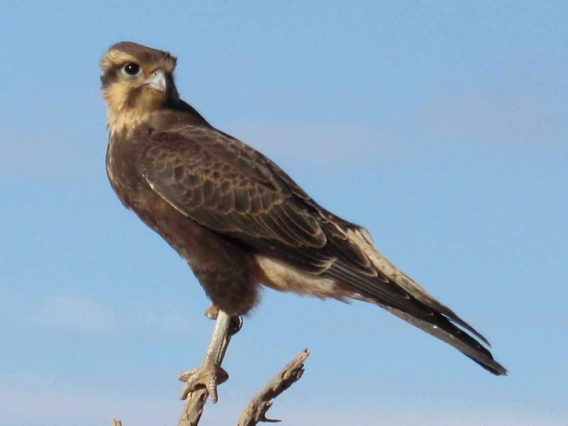 Brown Falcon - Jim Zook