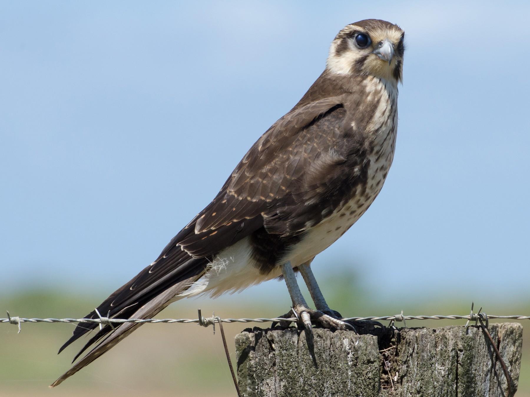 Brown Falcon - Brad White