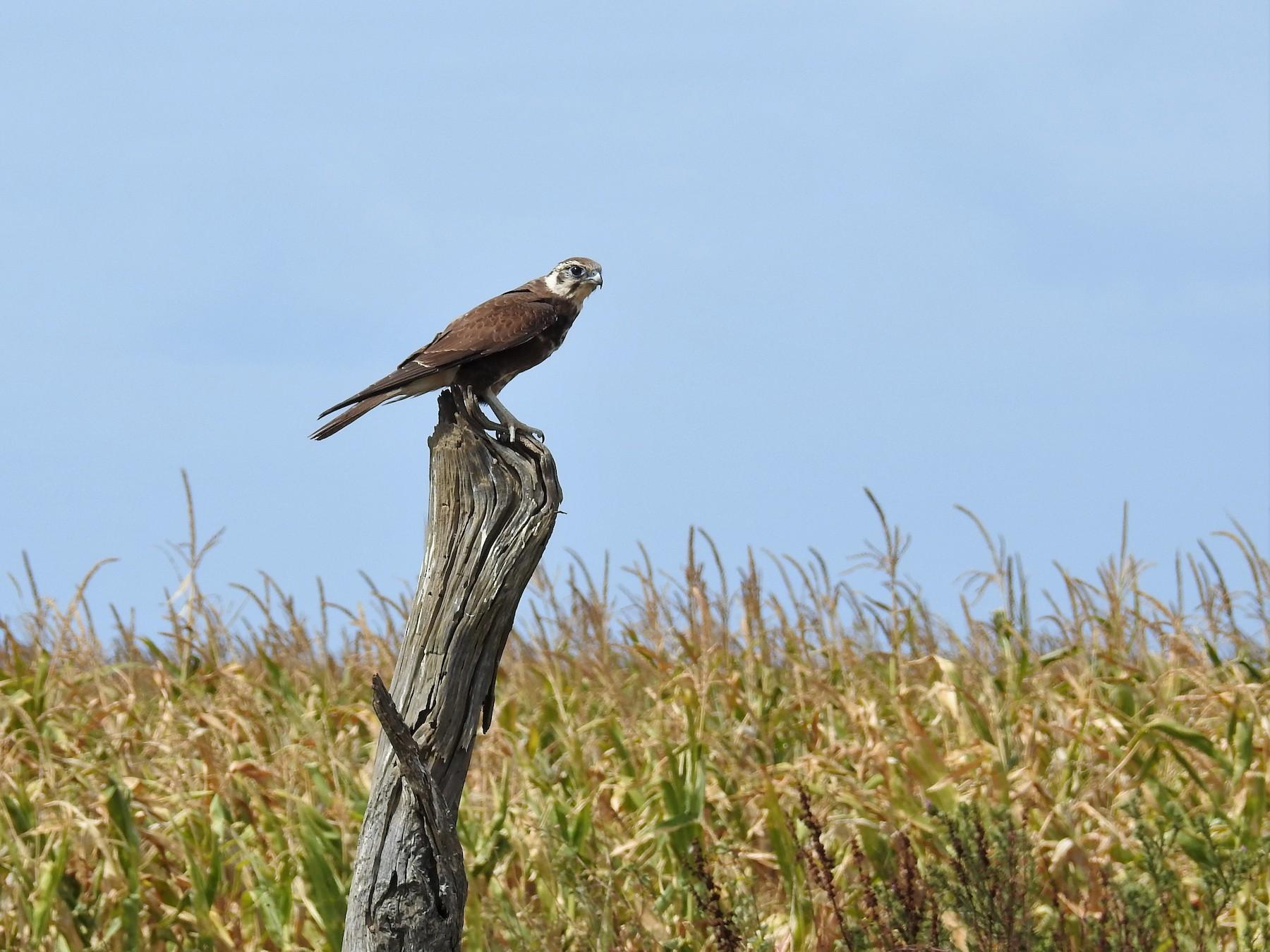 Brown Falcon - Ken Crawley