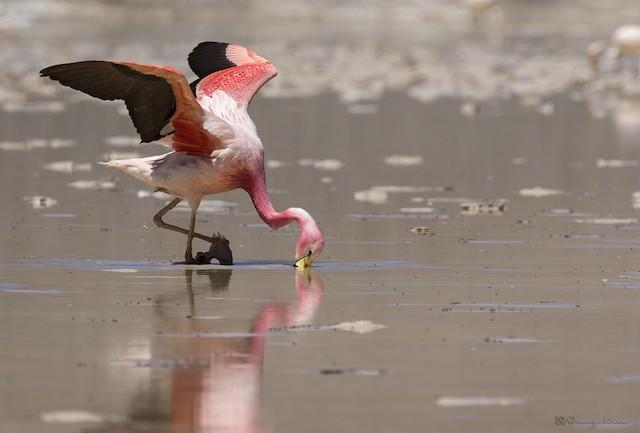 Andean Flamingo feeding.