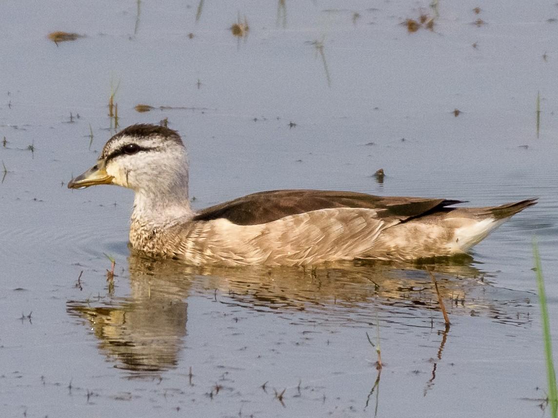 Cotton Pygmy-Goose - Balaji P B