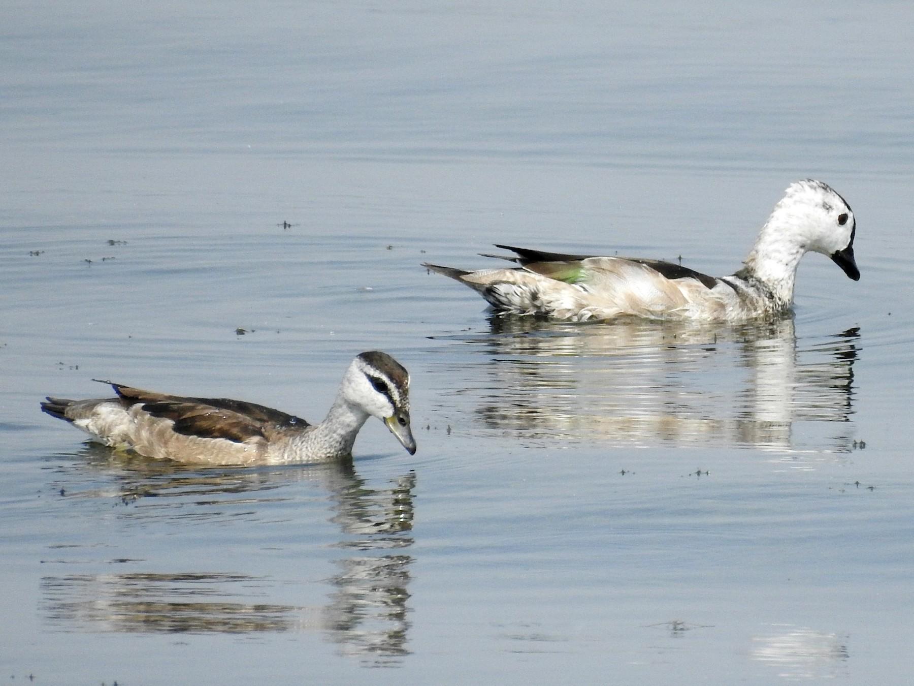 Cotton Pygmy-Goose - Abhijeet Rasal
