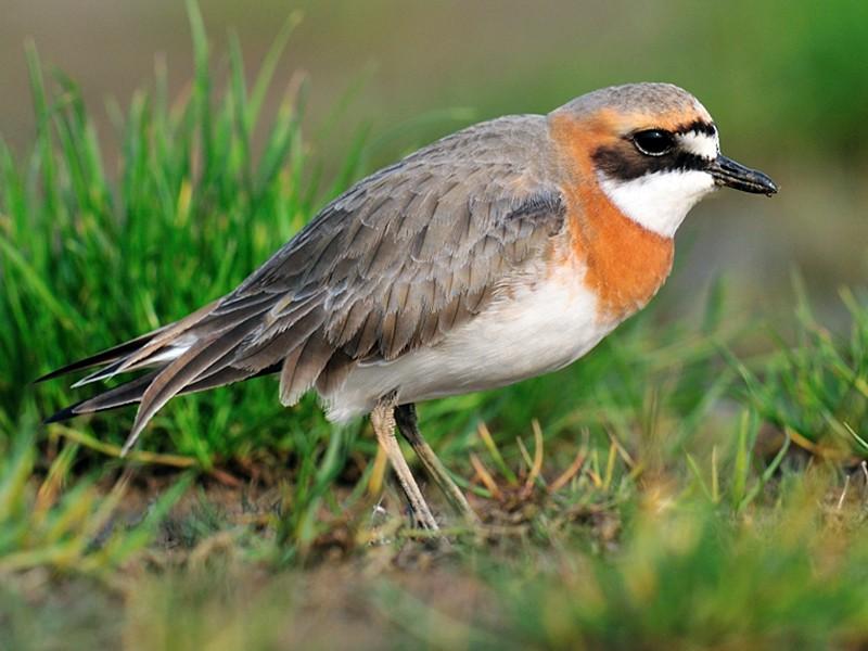 Lesser Sand-Plover - Craig Brelsford