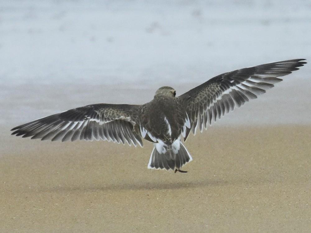 Lesser Sand-Plover - raphy kallettumkara