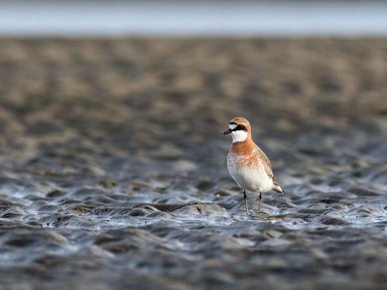 Lesser Sand-Plover - Malcolm Graham