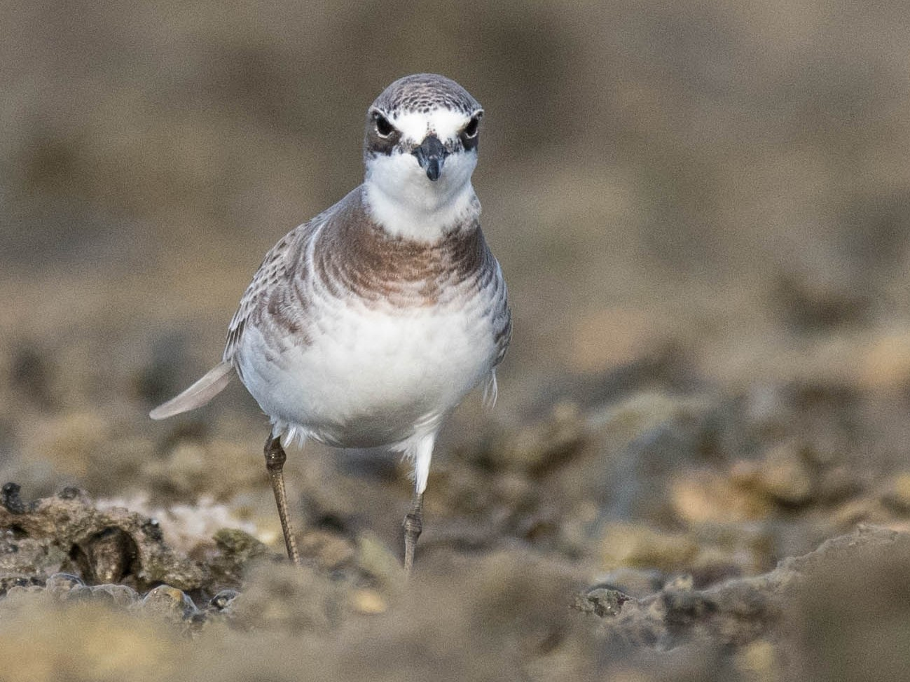Lesser Sand-Plover - Terence Alexander