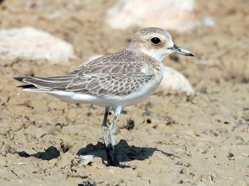 Greater Sand-Plover - Peter Arras