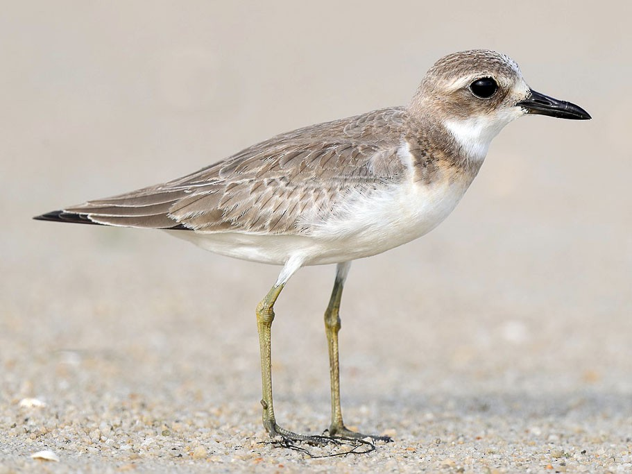 Greater Sand-Plover - Francis Yap