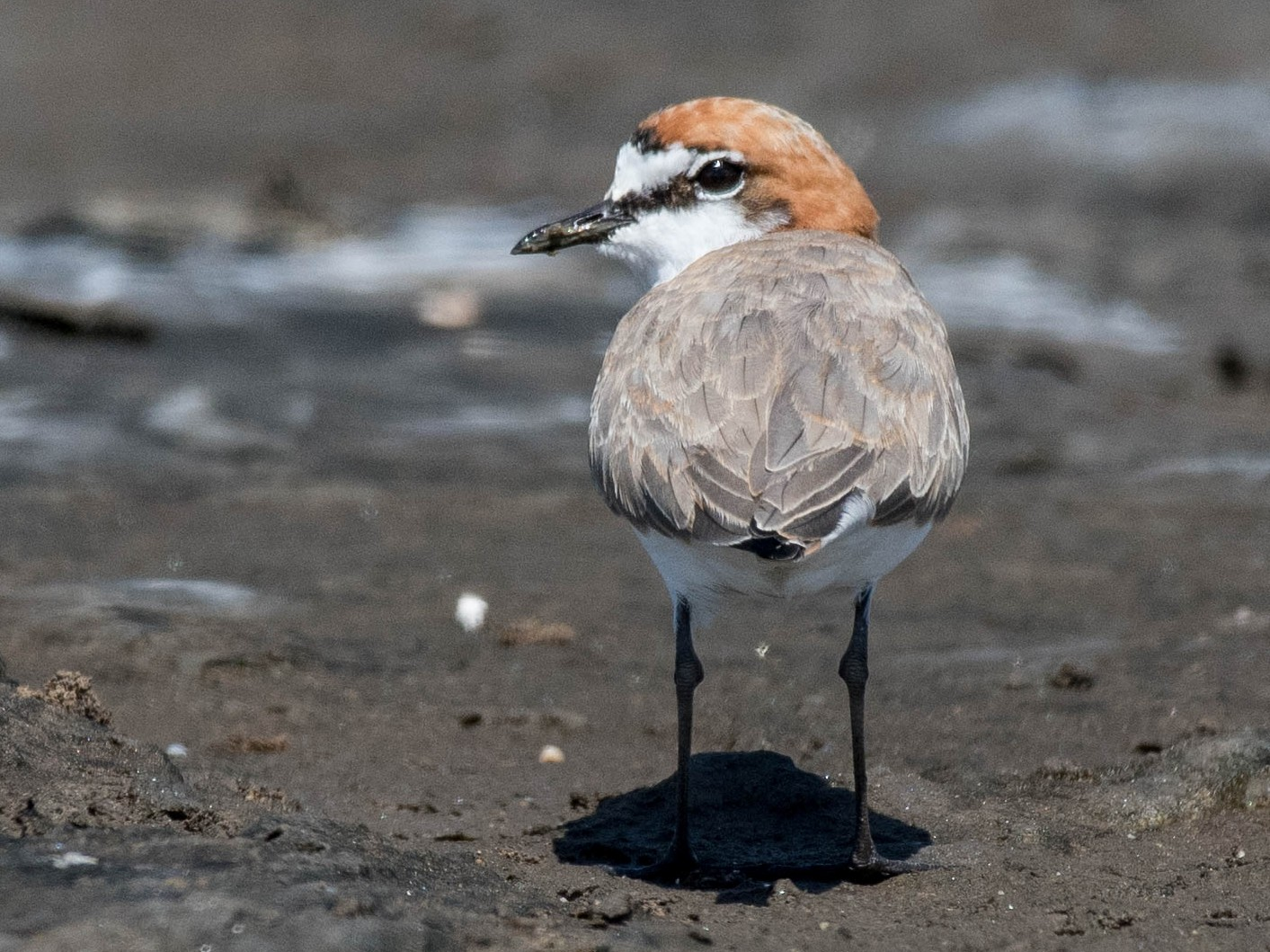 Red-capped Plover - Terence Alexander