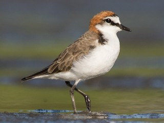 - Red-capped Plover