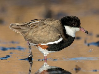 - Red-kneed Dotterel