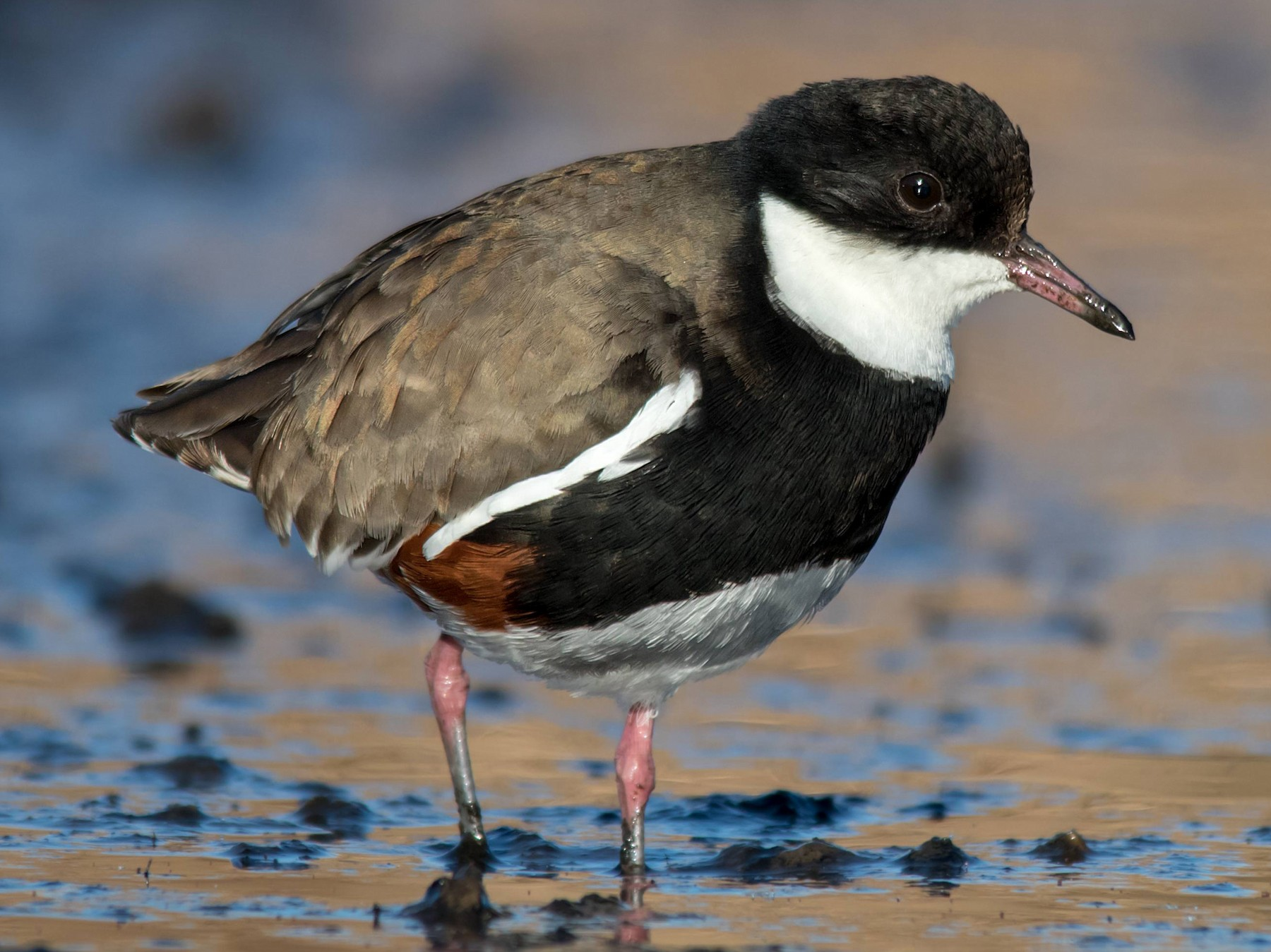 Red-kneed Dotterel - Andrew Allen