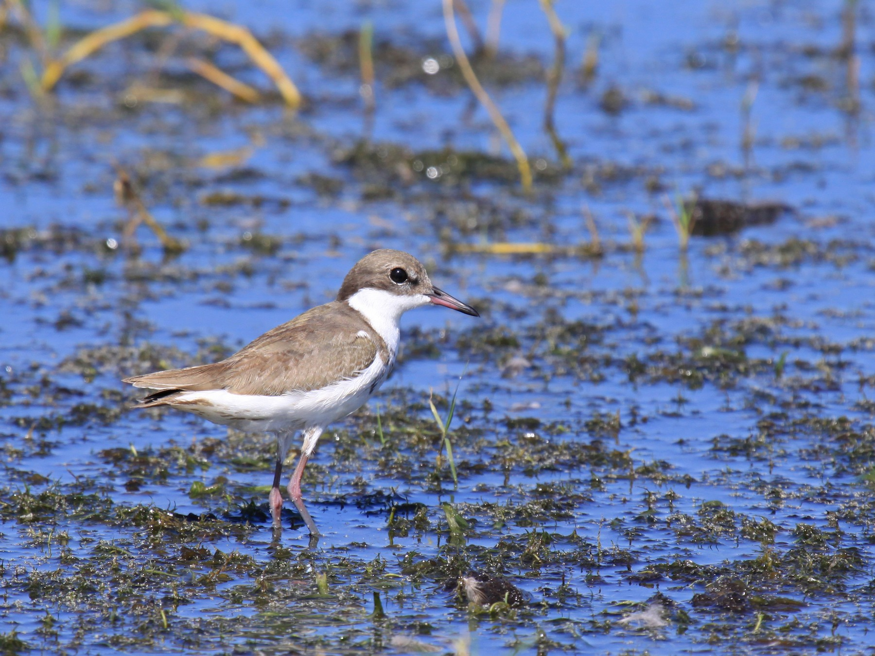 Red-kneed Dotterel - Margot Oorebeek