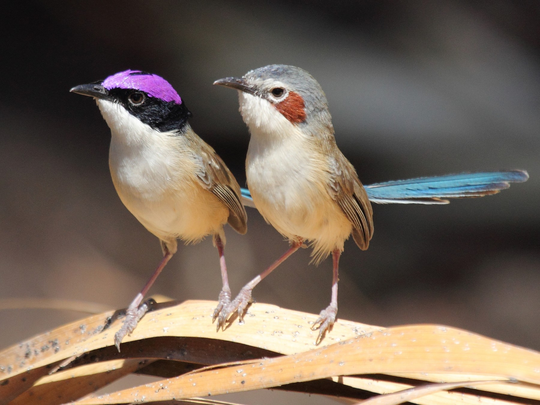 Purple-crowned Fairywren - Marc Gardner