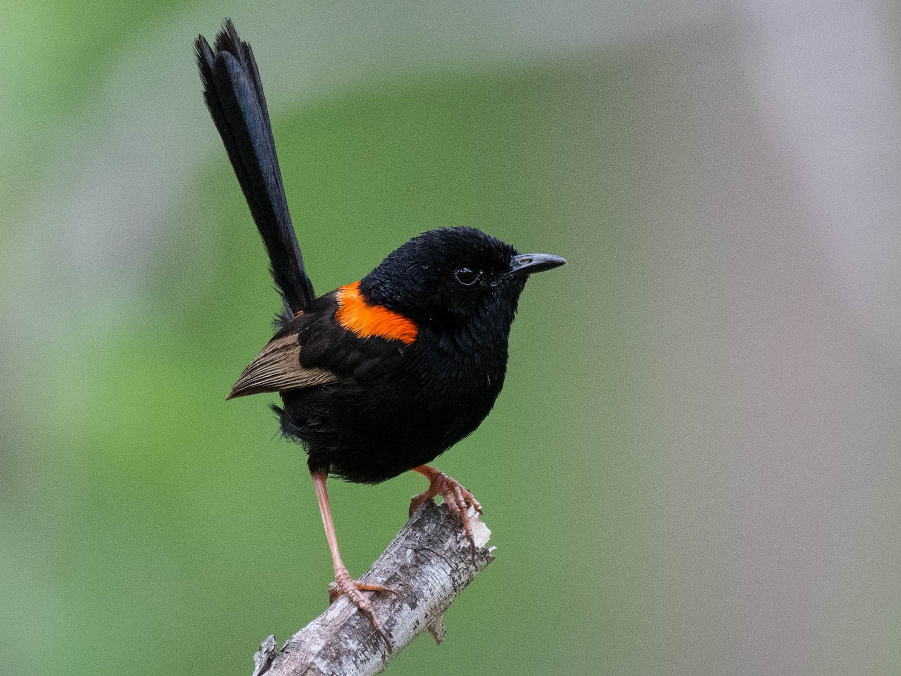 Red-backed Fairywren - Terence Alexander