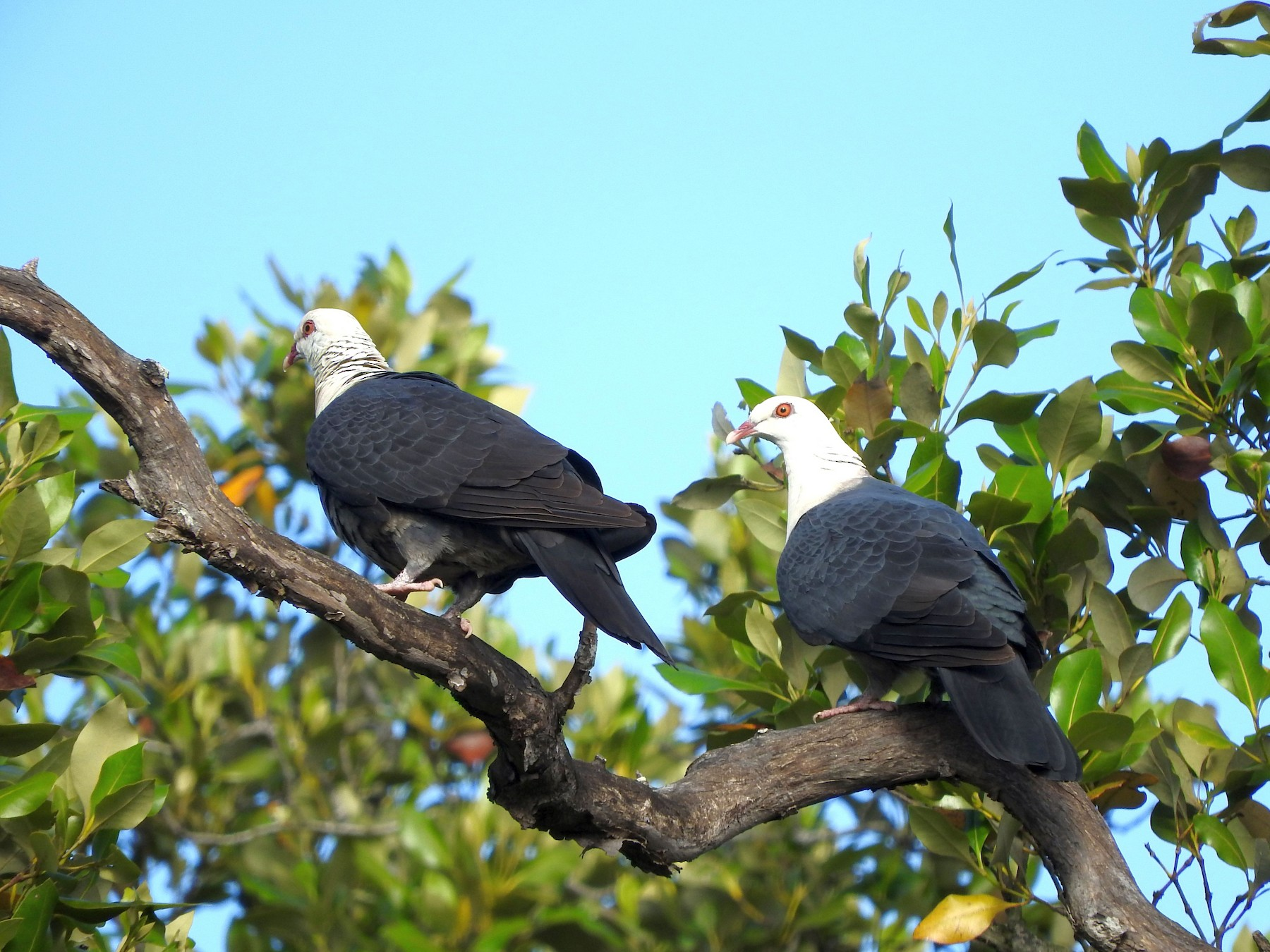 White-headed Pigeon - Chris Burwell