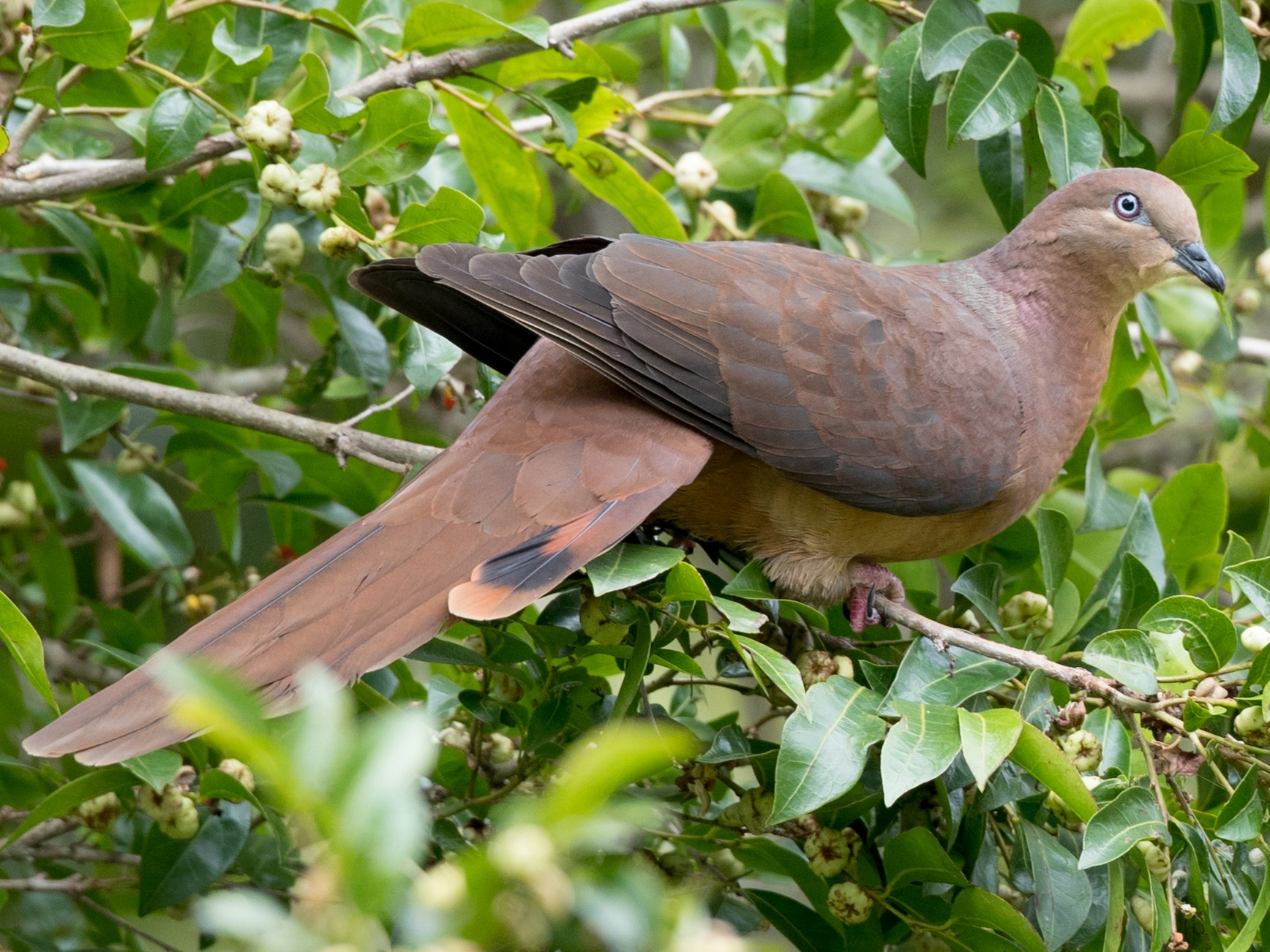 Brown Cuckoo-Dove - Ian Davies