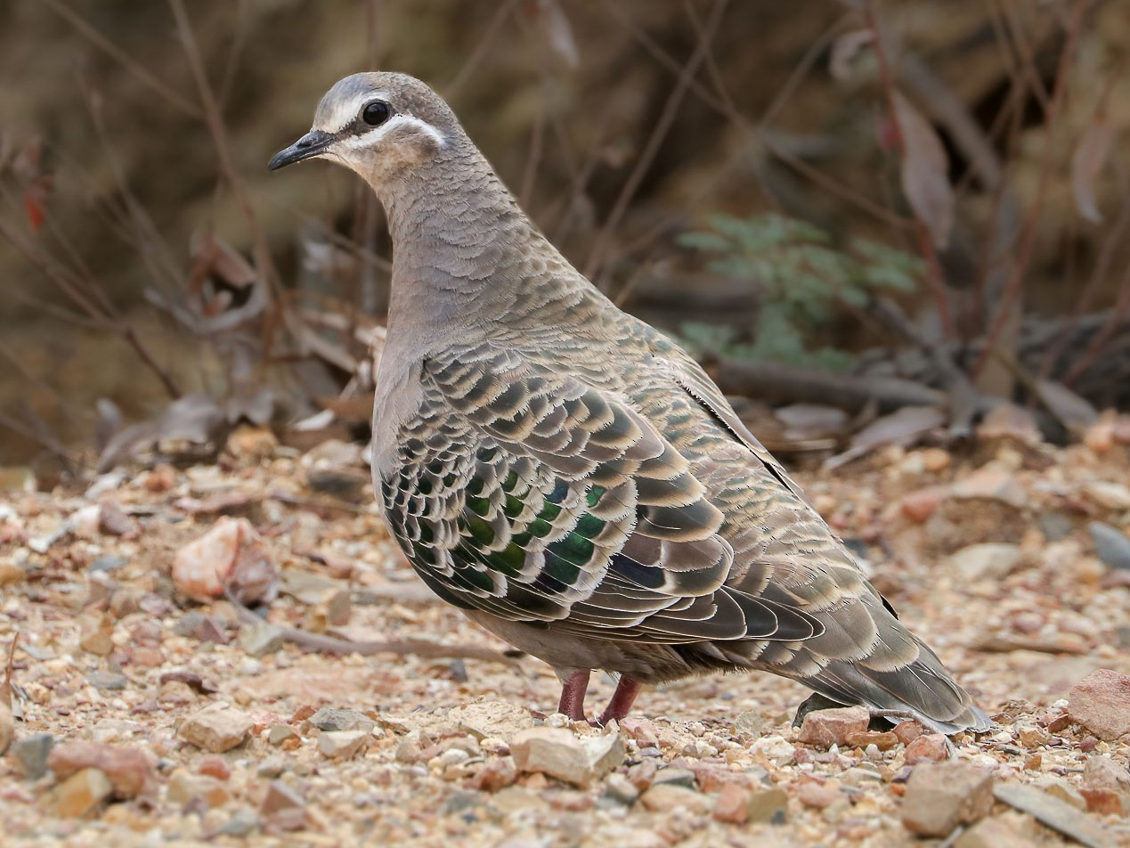 Common Bronzewing - Ged Tranter