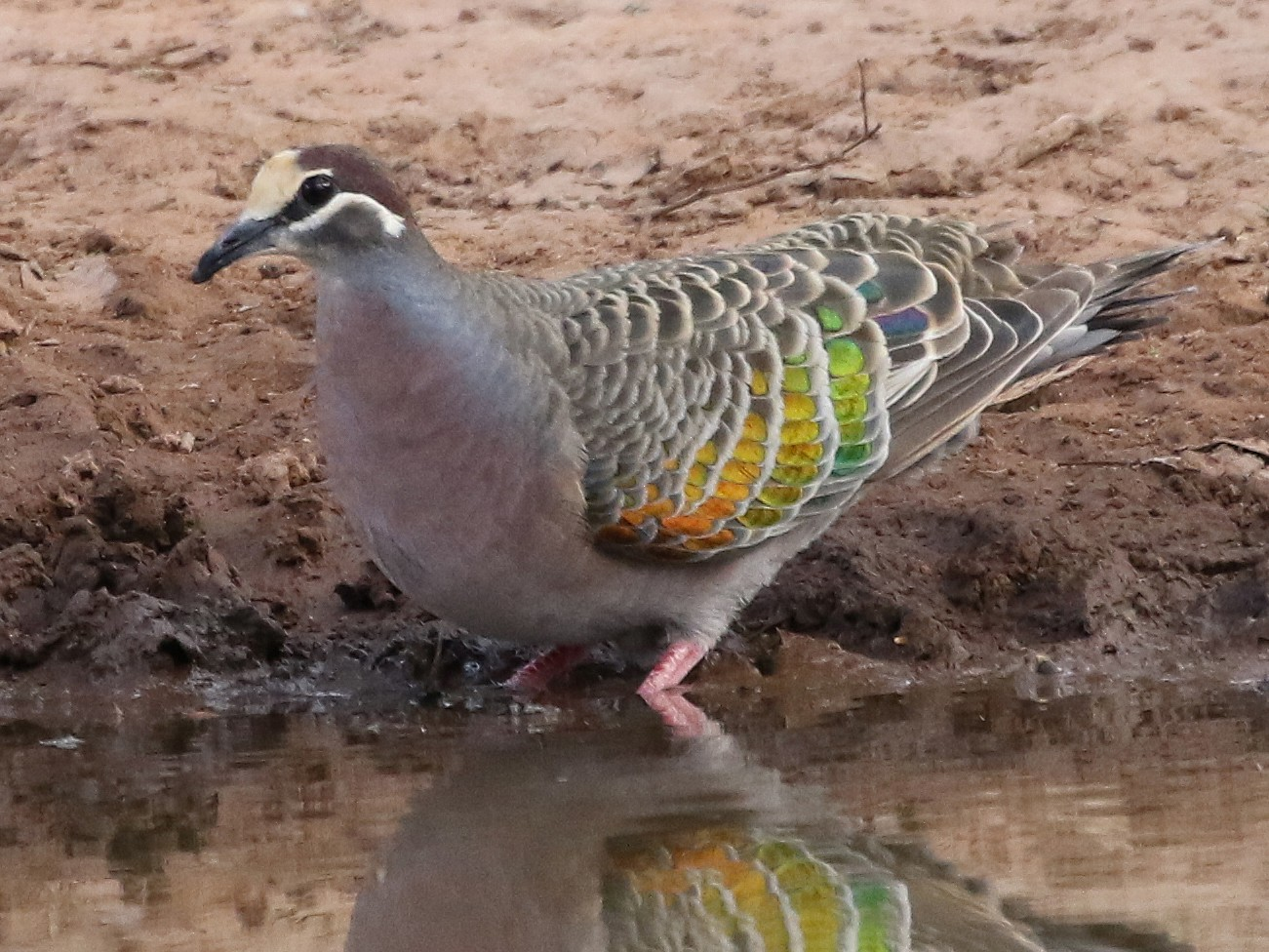 Common Bronzewing - David Ongley