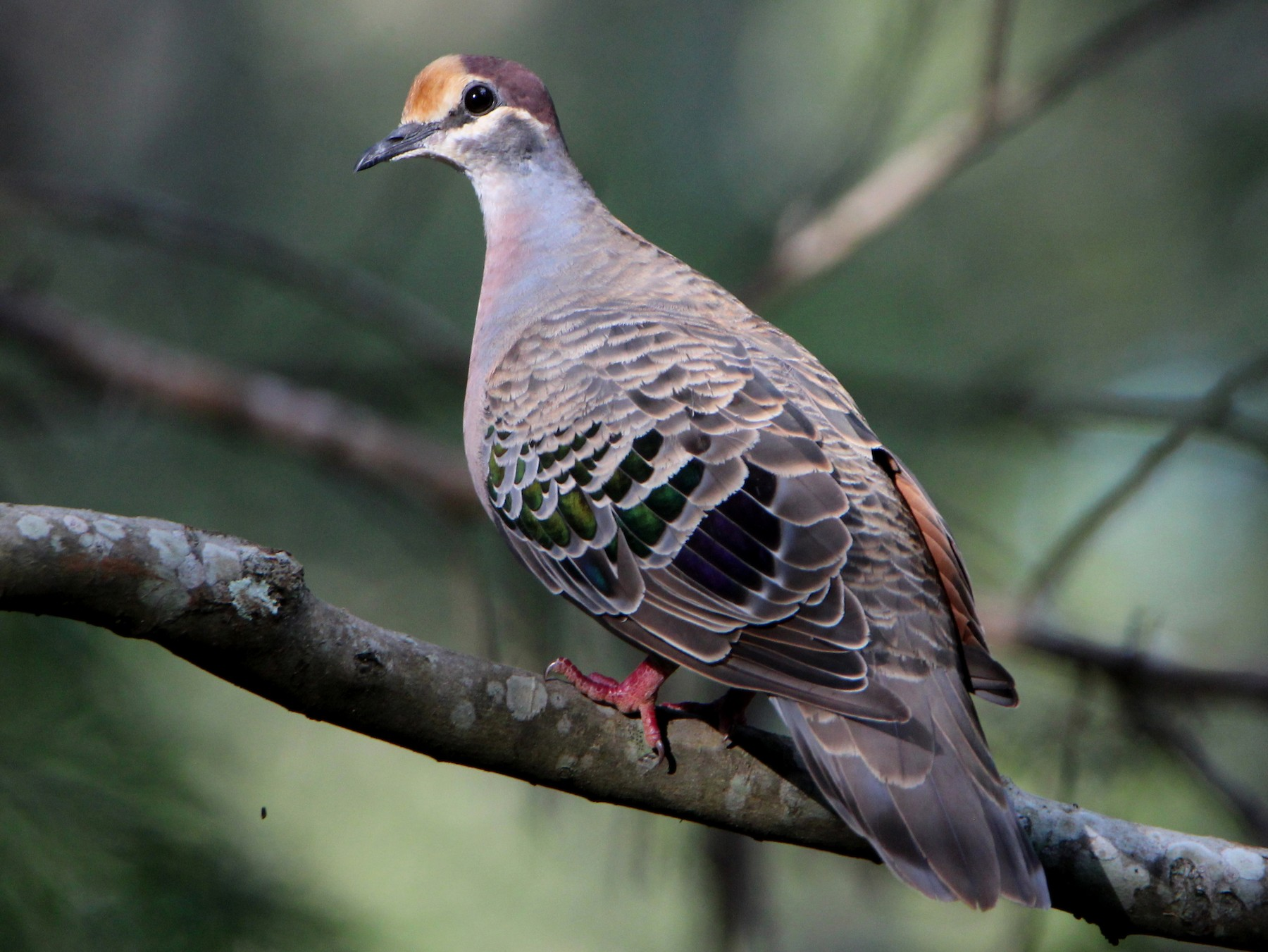 Common Bronzewing - Sandra Gallienne