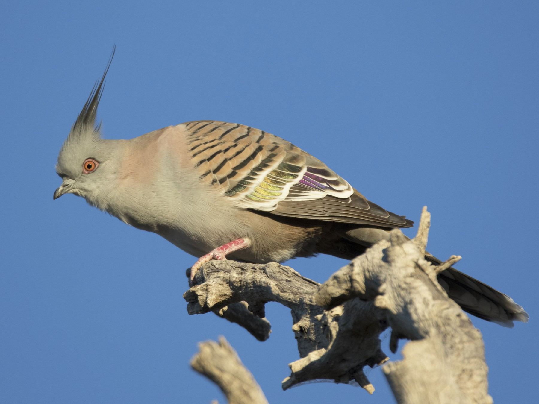 Crested Pigeon - John Cantwell