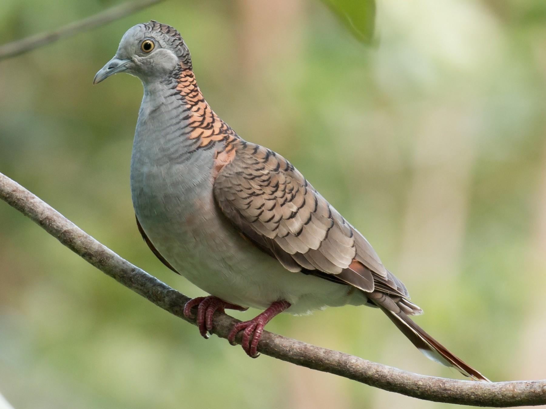 Bar-shouldered Dove - Mark Ayers